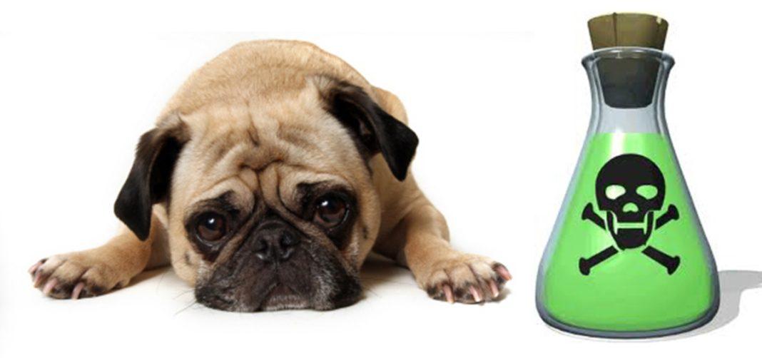 Imagem ilustrativa de um cão envenenado!