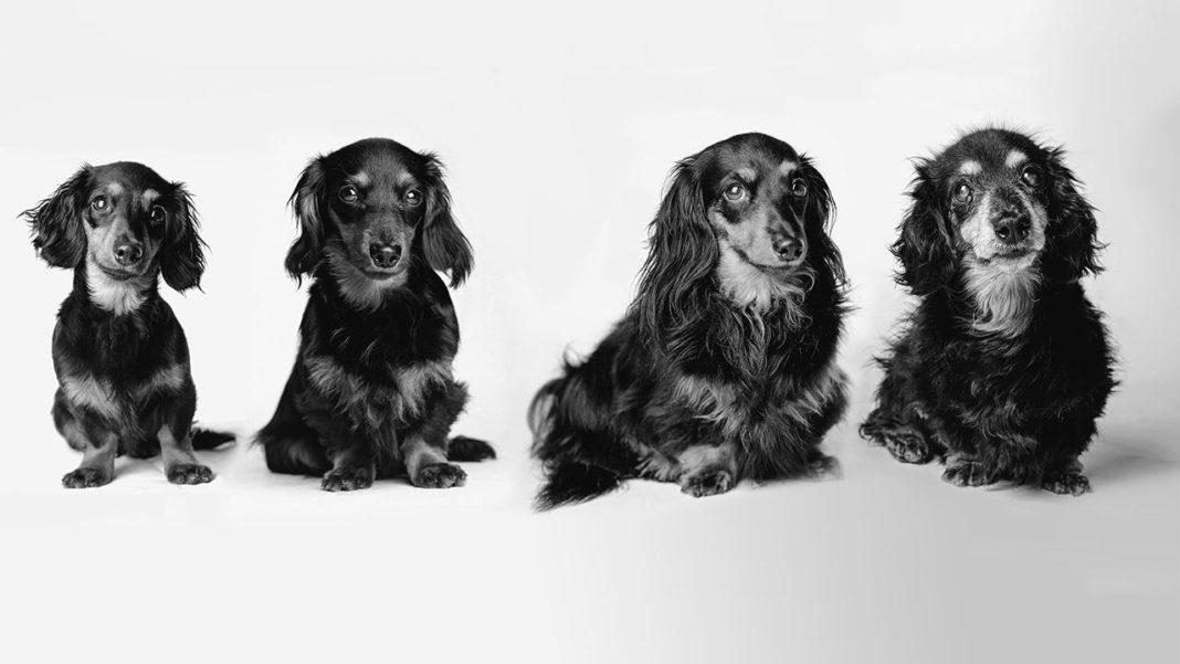 Imagem ilustrativa de cães envelhecendo