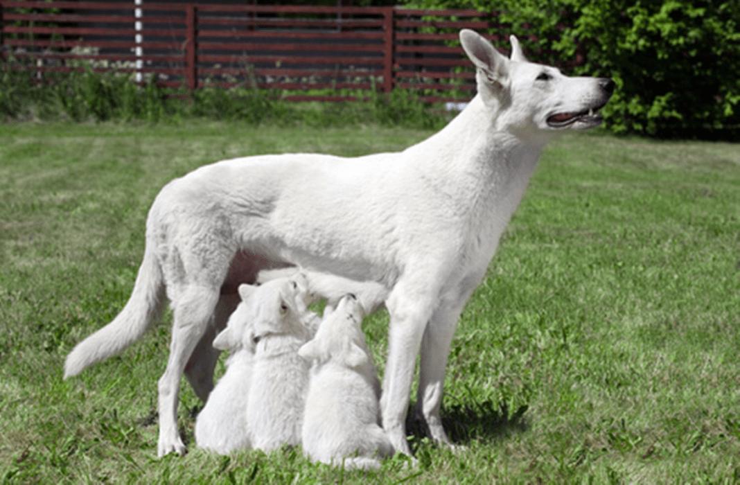 Imagem ilustrativa de cães com consanguinidade