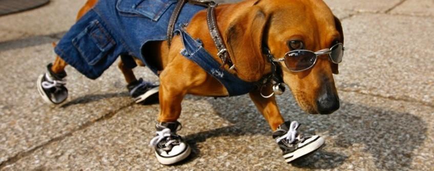 Cachorro com sapato