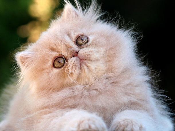 Gato Persa - Raças Branquicefálicas
